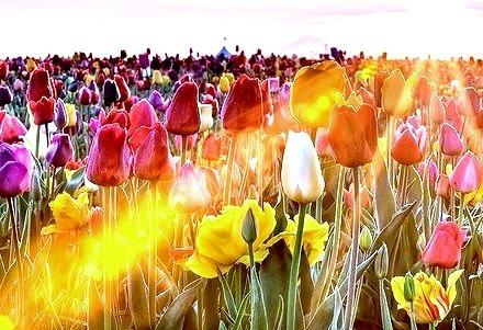Tulip Field Sunset, Skagit, Washington