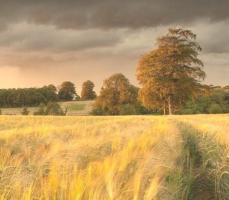 Field of Gold, Tadcaster, England